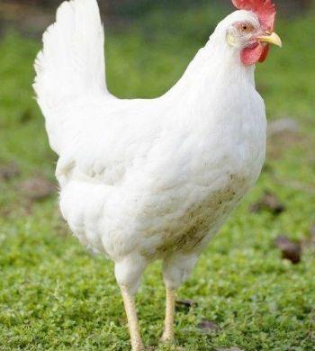 مدیریت تغذیه در پرورش مرغ گوشتی