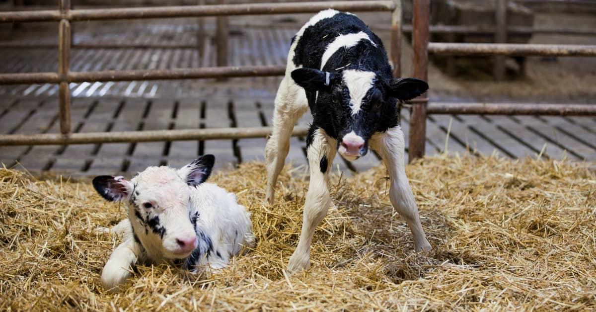نگهداری از گوساله تازه متولد شده