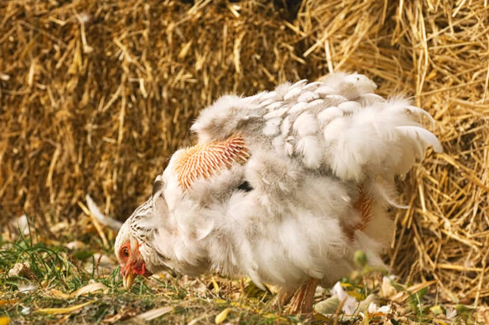 ریزش پر مرغ