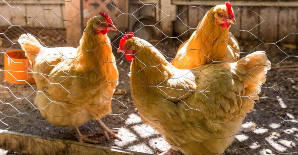 انرژی مورد نیاز مرغ تخمگذار